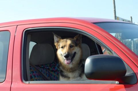 運転席に犬が乗った車