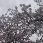綺麗な桜を撮ってみた
